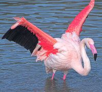 A pink flamingo spreads its wings at Slimbridge