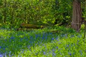 Bluebell woods at Packwood House