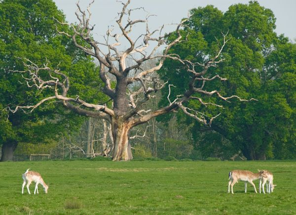 Attingham Park photo, Deer grazing in the park