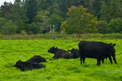 Aberdeen Angus cattle graze near the castle