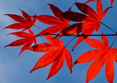 Red maple leaves against the blue sky