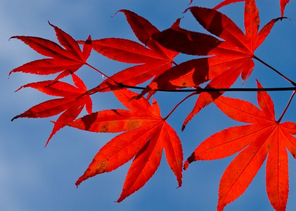 Batsford Arboretum photo, Red maple leaves against the blue sky