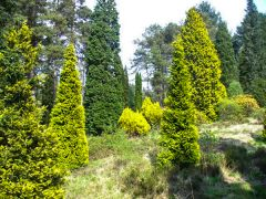A stand of conifers (c) Colin Smith