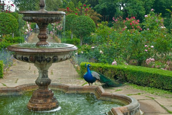 Belvoir Castle photo, A peacock in the terraced gardens