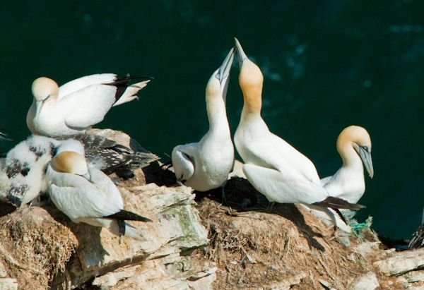 Bempton Cliffs RSPB Nature Reserve photo, Gannet mating display