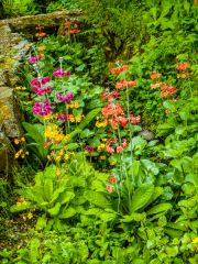 Primulas at Bolfracks