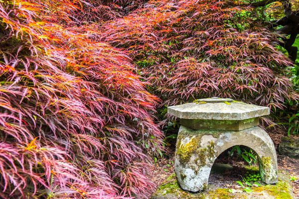 Branklyn Garden photo, A Japanese maple and oriental ornament