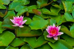 Water lilies are a garden feature