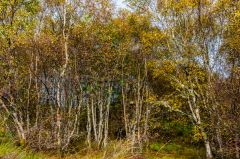 Coille Mhor woodland