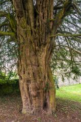 600 year old yew tree in the churchyard