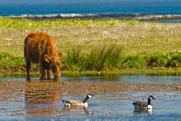 Isle of Colonsay photo, Cattle on Oronsay