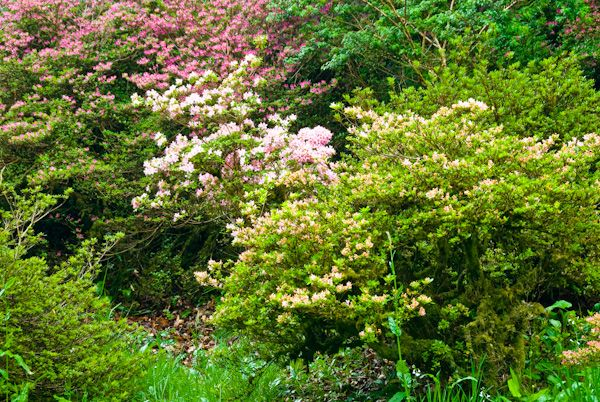 Colonsay House Gardens photo, Flowering Shrubs