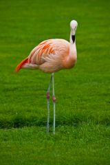 Coton Manor Gardens, A flamingo on the garden lawn