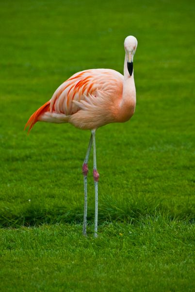 Coton Manor Gardens photo, A flamingo on the garden lawn