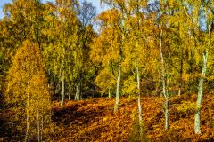 Cairngorms National Park, Craigellachie woodland in autumn