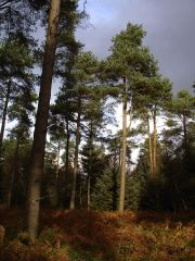 Scots pines in Dalby Forest (c) Ricjl