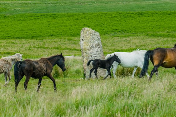 Drizzlecombe Stone Rows photo, Dartmoor ponies walk through the stone rows