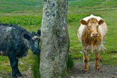 Drizzlecombe Stone Rows, A couple of local cows enjoying the standing stones