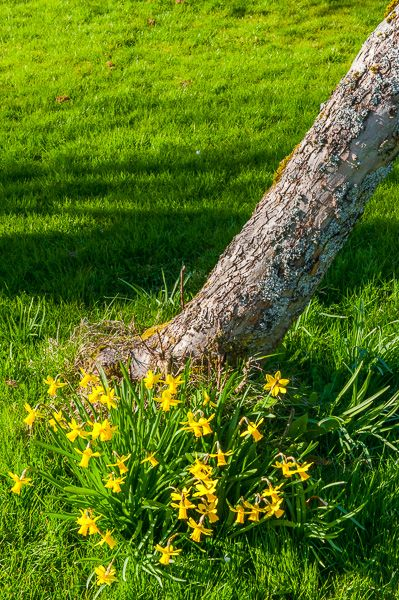 The Dunmore Pineapple photo, Daffodils in Spring