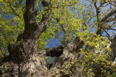 Looking up into the branches of the King Oak