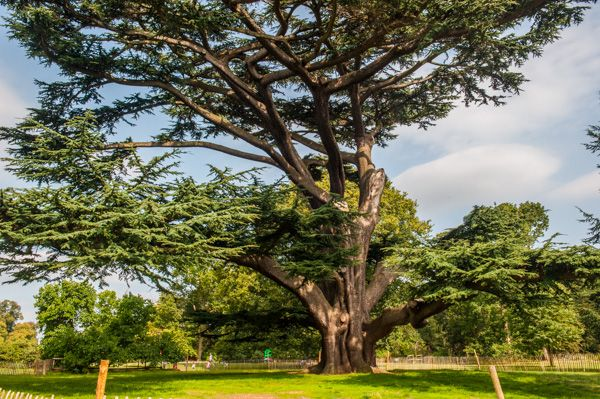 Forty Hall photo, 17th century cedar of Lebanon in the grounds