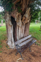 Ancient yew tree in the churhyard