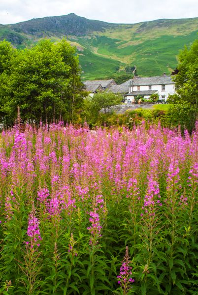 Grange in Borrowdale photo, A field of rosebay willowherb