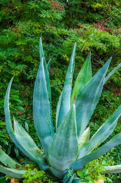 Hardwicke Court photo, Agave plant in the gardens