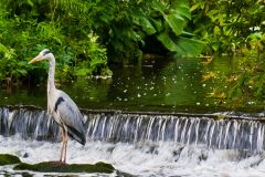 Grey heron in the gardens