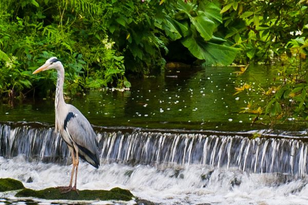 Harewood House photo, Grey heron in the gardens