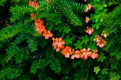 Harmony Garden, Conifers draped with colourful blooms