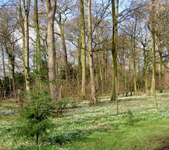 The snowdrop woods (c) Steve Fareham