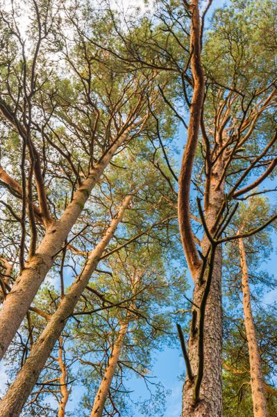 Inverewe Garden photo, Tall trees in the woodland