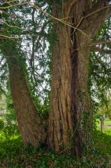 The ancient yew tree by the church path