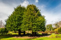 Malleny Garden, The 4 Evangelist yew trees