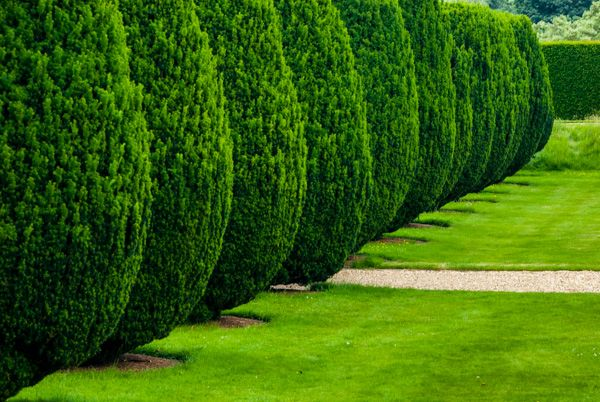 Montacute House photo, Clipped yews in the garden