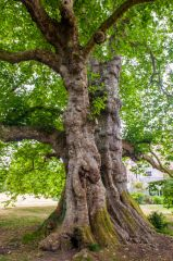 Early 18th century Mottisfont plane tree