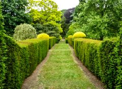 Clipped hedges form a garden path (c) Pam Fray