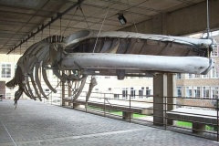 Whale skeleton, Zoology Museum
