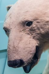 A polar bear in the Mammals exhibit