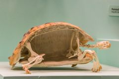 A turtle skeleton