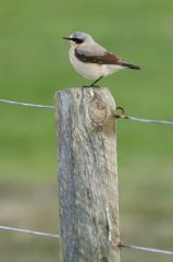 Unst and Yell, Northern wheatear (c) Mike Pennigton