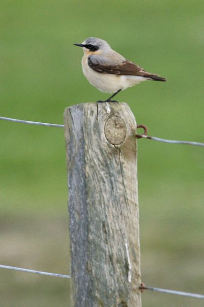 Unst and Yell photo, Northern wheatear (c) Mike Pennigton