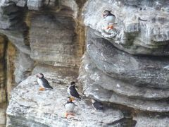 Puffins on the cliffs (c) Chris Downer