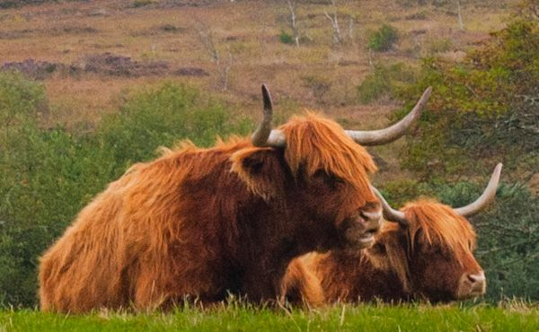 Balmacara Estate and Lochalsh Woodland Garden photo, Highland cattle at Plockton
