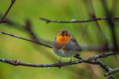 A robin glimpsed in the Aros woodland