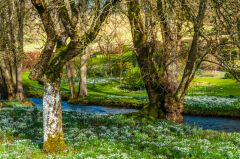 Snowdrops by the River Churn