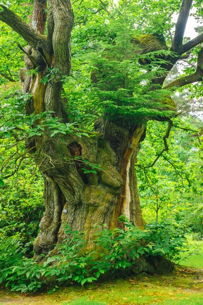 Sheffield Park photo, A huge old tree by the park entrance