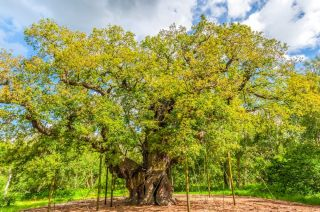 Sherwood Forest and the Major Oak
