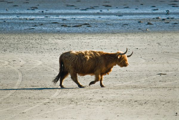 The Strand photo, Highland cattle